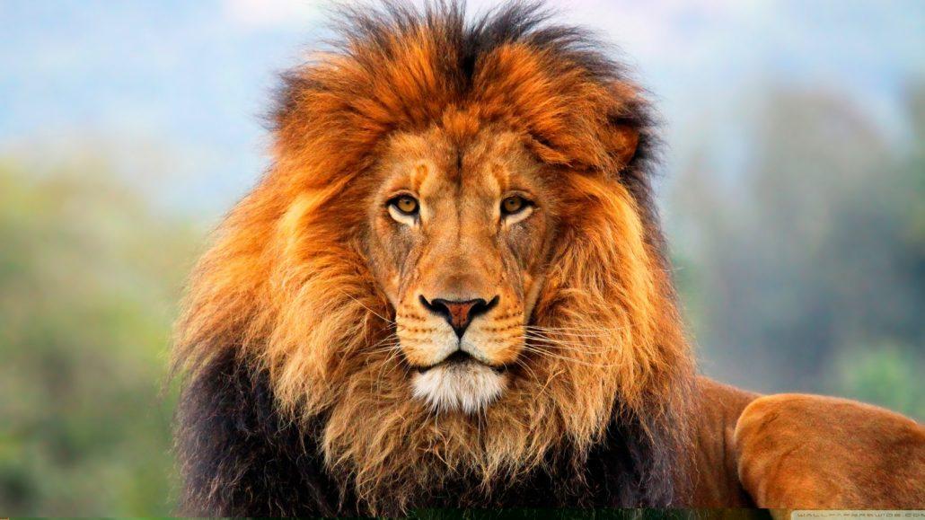 Lion Cape Town